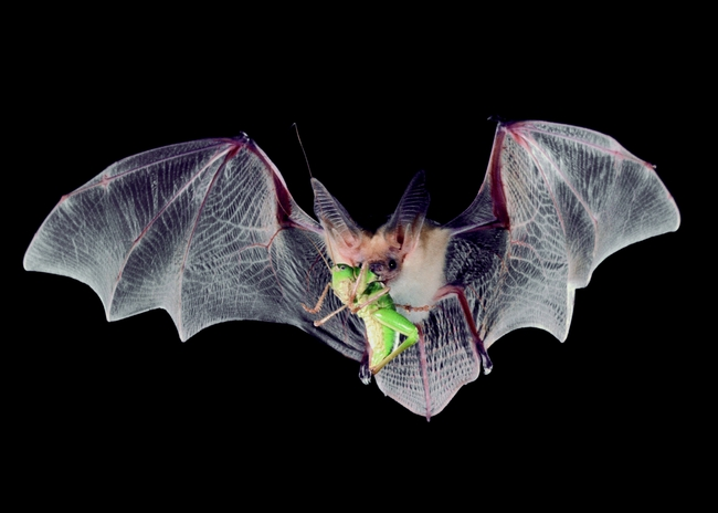 A pallid bat catching dinner mid air. (Photo: Bat Conservation International)