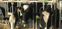 Dairy cattle breeding can be improved with genomics. for Green Blog Blog