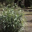 Johnsongrass, one of the most troublesome weeds in the world, is closely related to sorghum, which is grown for food, fodder and biofuel.