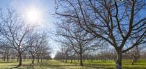 If the current trend of warmer winters continues in Yolo County, chill hours may be insufficient for many walnut varieties by the year 2100. for Green Blog Blog