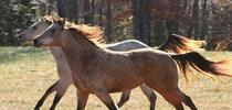Wild horses are beautiful, but present land management challenges. for Green Blog Blog