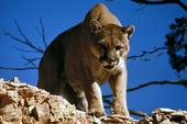 A properly constructed livestock enclosure can thwart mountain lion attacks. (Stock photo: Pixabay)