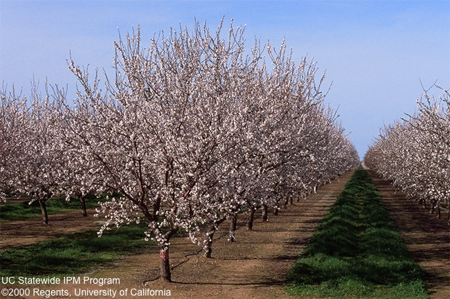 almond trees at full bloom