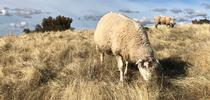 Sheep and cattle grazing can reduce the fuel load for a potential wildfire. (Photo: Dan Macon) for Green Blog Blog