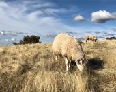 Sheep and cattle grazing can reduce the fuel load for a potential wildfire. (Photo: Dan Macon)