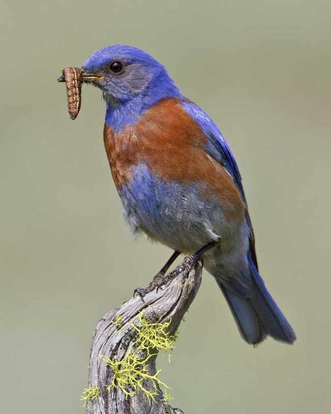 Western bluebird eating a caterpillar pest. Image by Glen Bartley/VIREO.