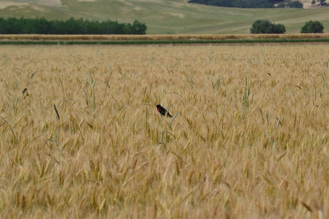 A red-winged blackbird in winter wheat, Yolo County, California. Image by Sacha Heath.