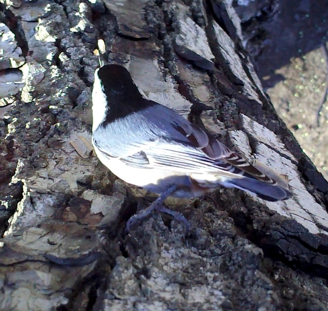 "A white-breasted nuthatch preys on a codling moth larva ""sentinel cocoon"" on a walnut tree. (Video still: Sacha Heath)"