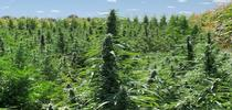 UC is working with several private companies on industrial hemp research. for Green Blog Blog