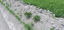 Eliminate Volunteer Potatoes Growing on Ditches and Field Borders for Intermountain REC News Blog