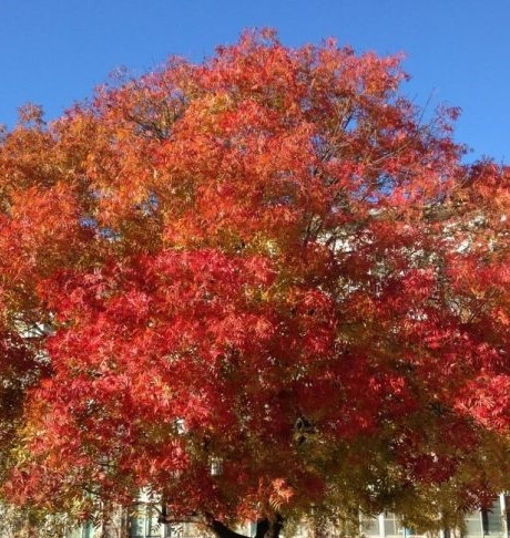Red Push Pistache is a recommended heat, drought, and pest resistant tree for inland Southern California