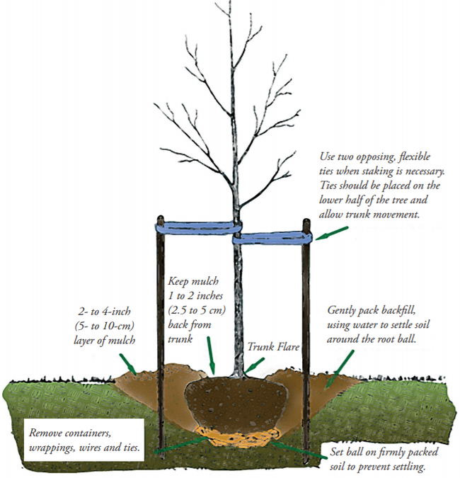 proper tree staking and planting practices