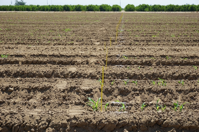 Recently emerged sorghum that is part of a trial aiming to tease out the genes that express drought tolerance.