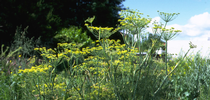 If you've got a great recipe for wild fennel, the website Eat the Invaders wants to know. Wild fennel is listed as moderately invasive by the California Invasive Plant Council (CAL-IPC). It came from southern Europe and the Mediterranean where it is used as a spice. (Photo: Joseph M. DiTomaso, UC Davis Dept. of Plant Sciences) for Kearney news updates Blog