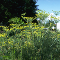 If you've got a great recipe for wild fennel, the website Eat the Invaders wants to know. Wild fennel is listed as moderately invasive by the California Invasive Plant Council (CAL-IPC). It came from southern Europe and the Mediterranean where it is used as a spice. (Photo: Joseph M. DiTomaso, UC Davis Dept. of Plant Sciences)