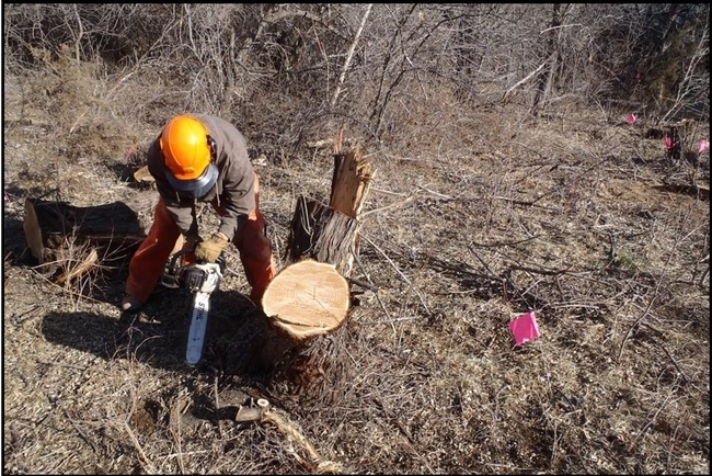 Making a second cut of a Russian olive stump close to the ground.