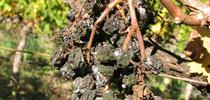 Allowing unsold grapes to remain on the vines makes sense. Clusters that decompose over the winter are unlikely to have a noticeable effect on fungal disease pressure the following year. for UC ANR Knowledge Stream Blog