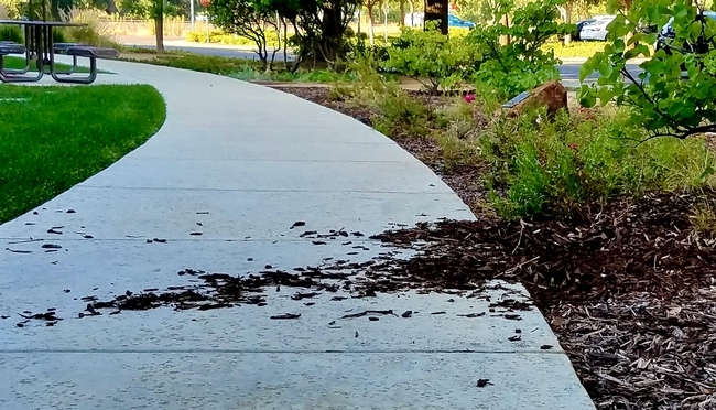 Landscape damage from foraging wild turkeys. (Photo: Belinda Messenger-Sikes)