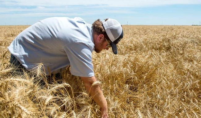 A wheat farmer searches for a duck nest in a wheat field after seeing a hen flush ahead of his advancing harvester.