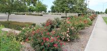 ARTS Rose trial plots at San Joaquin Co. Agricultural Center for Landscape Lush Blog