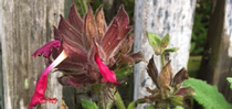 Salvia spathacea or hummingbird sage. for UC Master Gardeners of Monterey Bay Blog