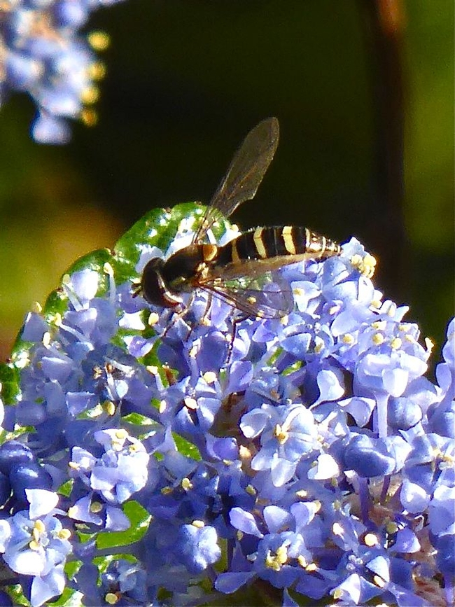 Adult syrphid fly feeding on <em>Ceanothus</em> pollen. Syrphid larvae are garden beneficials, feeding on aphids, scales, thrips and other soft-bodied insects. Image © Carol Nickbarg.