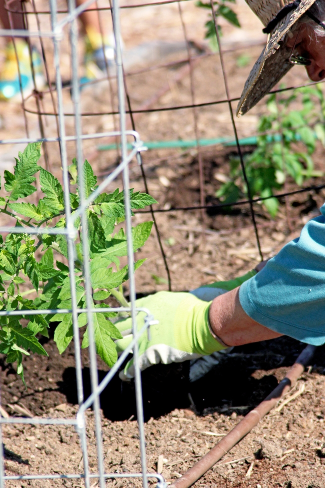 A Master Gardener plants tomatoes.