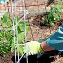 A Master Gardener plants tomatoes. In May!