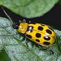 Western spotted cucumber beetle. Photo by Jack Kelly Clark.