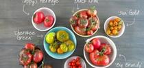 tomato-round-up with-text final for UCCE MG OC News Blog