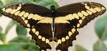 bio giant swallowtail for UCCE MG OC News Blog