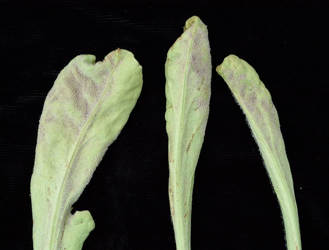 Sporulation of downy mildew on statice