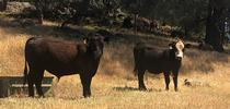 2021 May5 SFREC1 for Ranching in the Sierra Foothills Blog