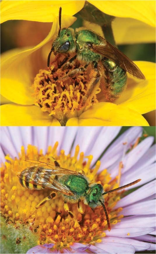 sweat bees male and female
