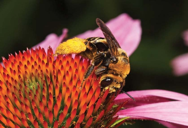 solitary bee on coneflower