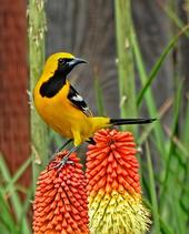 Hooded Oriole photo by Colin Talcroft, Madrone Audobon