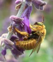 Male valley carpenter bee (Xylocarpa varipuncta) on Salvia leucantha (KATHY IKEDA/COURTESY PHOTO)