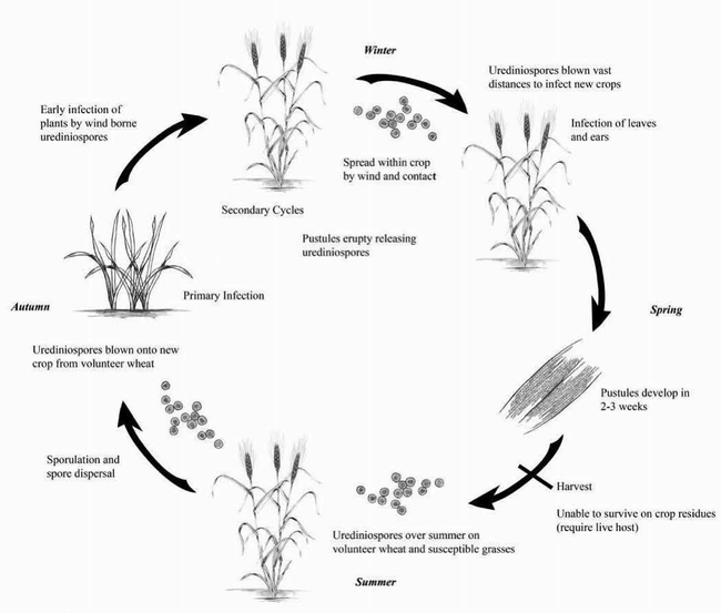 The disease cycle of stripe rust