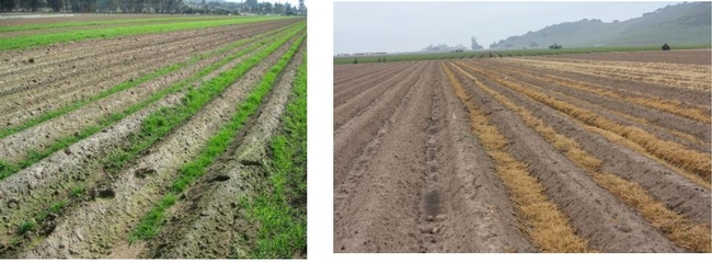 Photos 1&2. Trios 102 winter dormant triticale planted on the furrow bottom. Photo on right is 3 weeks after being treated with glyphosate. Note dense residue covering the furrow bottoms.