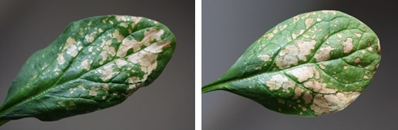 Water stress symptoms often occur as interveinal and blotchy necrotic areas on the leaf