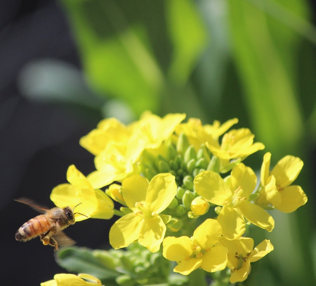 Honey bee lands on bok choy. Note that she has collected pollen from the plant.
