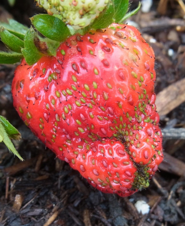 Poor strawberry pollination leads to low-quality fruit