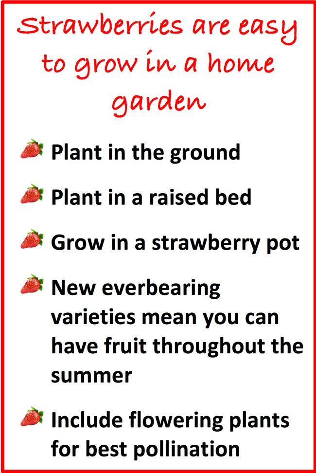 Strawberries are easy to grow