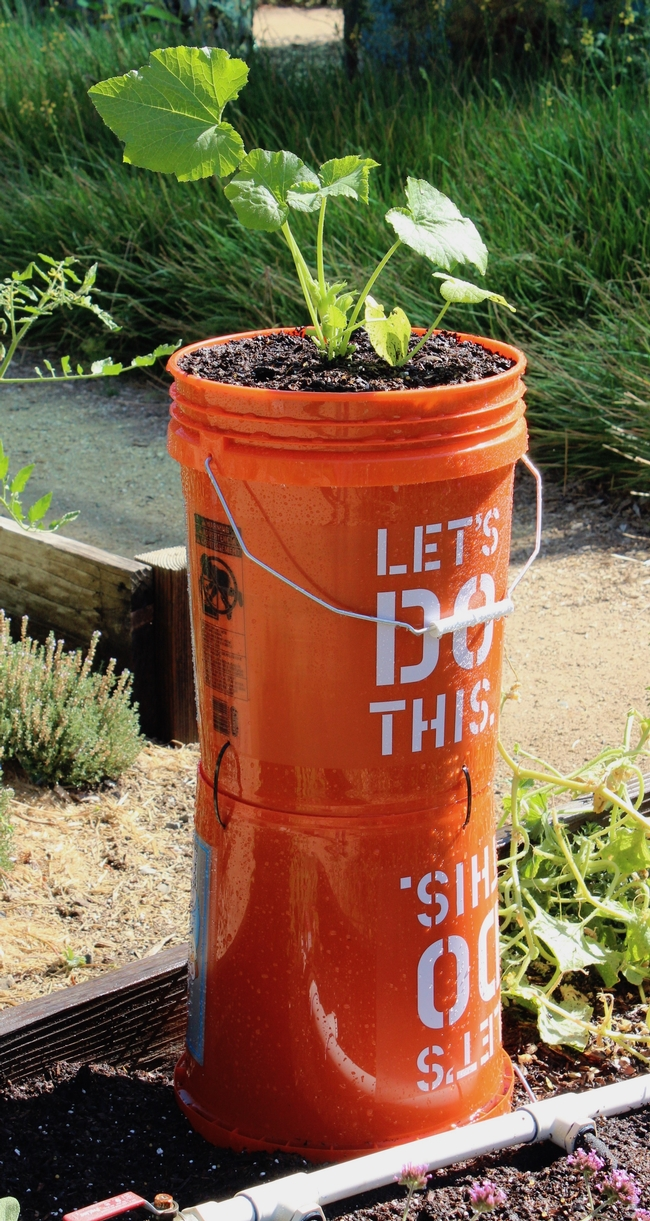 Bucket planter for growing squash in a small space