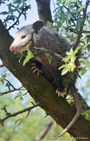 Adult opposum in a tree. (Credit: R. O'Connell)