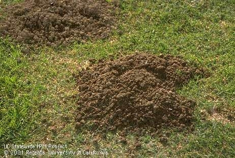 Green lawn with piled up soil from a gopher mound.