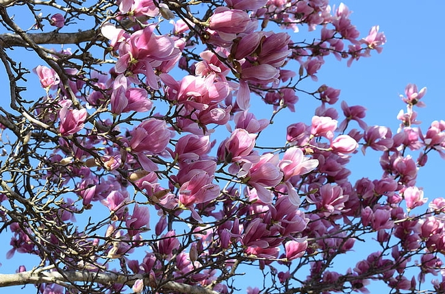 Tree branch with pink blossoms against a blue sky.