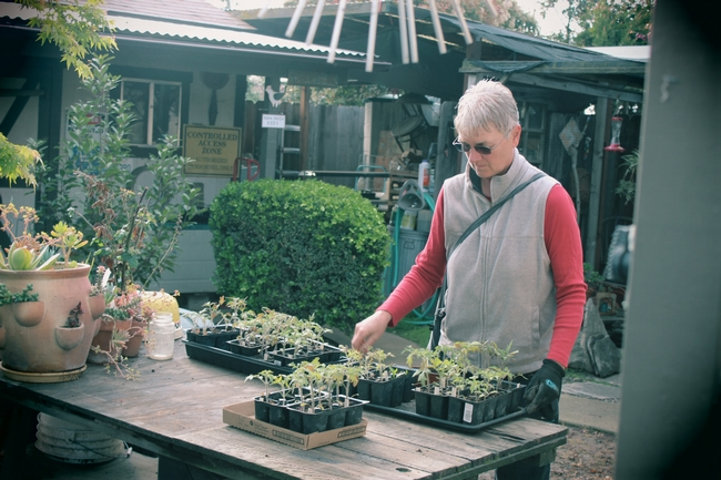 A Master Gardener tends her tomato plants on a bench in her backyard.