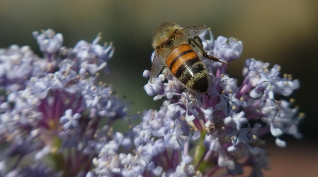 Honey bee on 'Topaz' ceanothus.