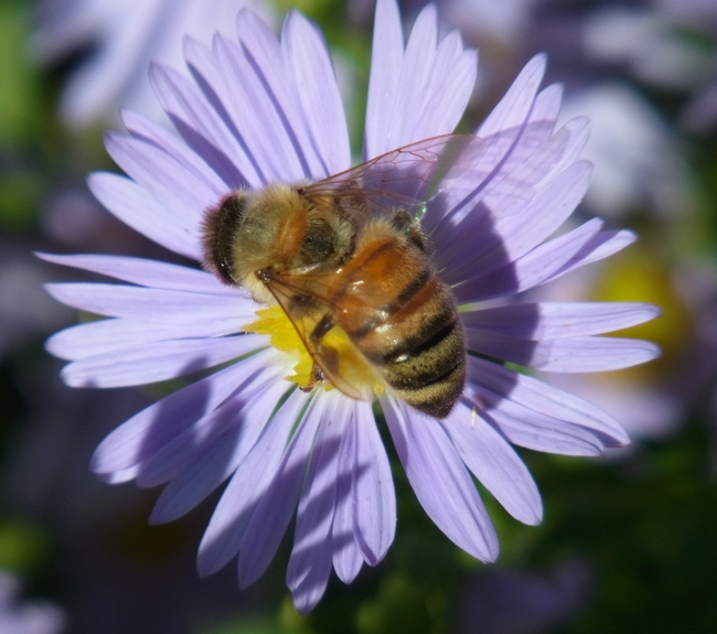 Honey bee on 'Bill's Big Blue' aster